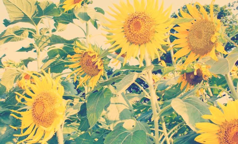 ootd sunflowers 2